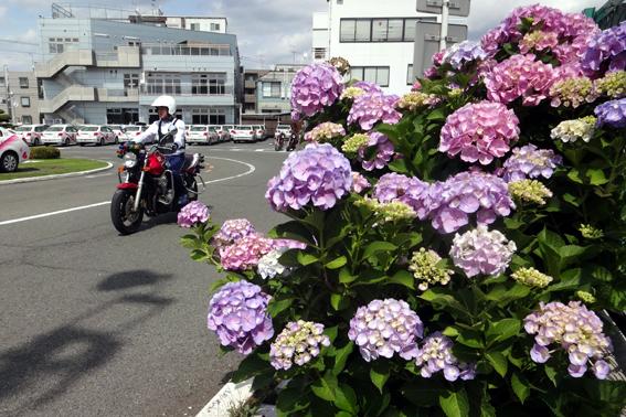 教習コースに、紫陽花
